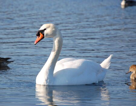 white trumpeter swan