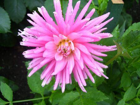 pink dahlia Imagens