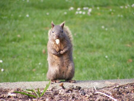 brown squirrel eating a nut