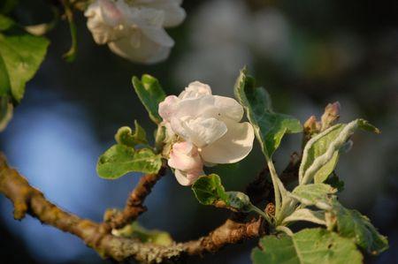 apple tree blossoms