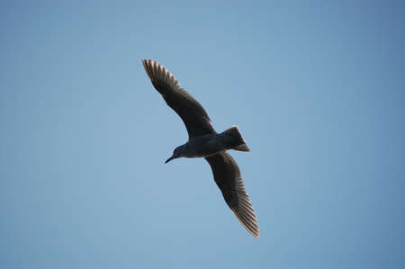 soaring sea gull Imagens