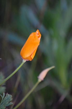 orange poppy bud