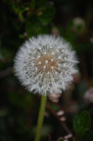 dandelion gone to seed Imagens