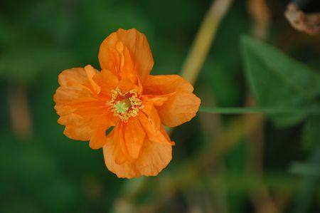 orange poppy with bee