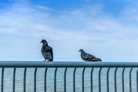Pigeons sit on the fence of the promenade on the sea background Stock Photo
