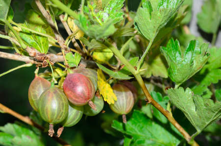 Ripe gooseberry berries on a branch with leaves. Selective focus.