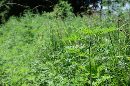Ambrosia is a source of allergies. Flowering ragweed growing in meadows and along country roads. Stock fotó