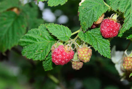 Red raspberry branch with berries and leaves. Selective focus.