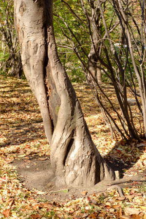 An ornate, twisted tree trunk against the background of autumn fallen leaves. 免版税图像