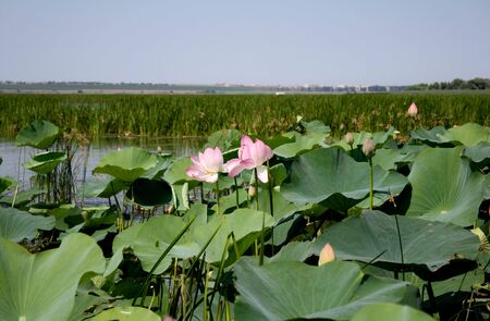 lilia: The Indian lotus. Stock Photo