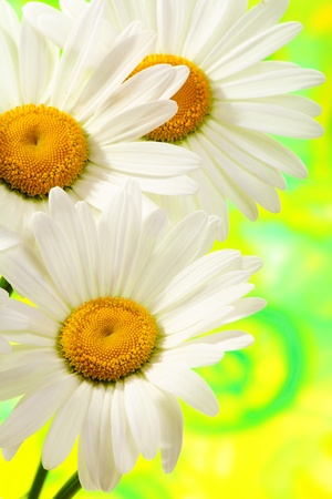 Three daisies closeup on a green background. Stock Photo - 9672662