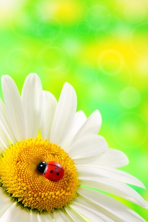 Ladybird on daisy closeup on a green background.