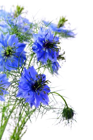 blue flowers: Beautiful blue flowers on a white background.