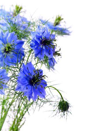 Piękne niebieskie kwiaty na białym tle.