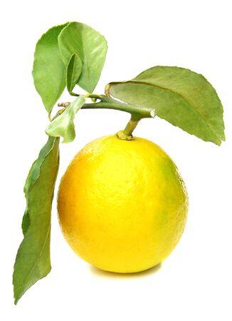 Lemons on branch on white background.