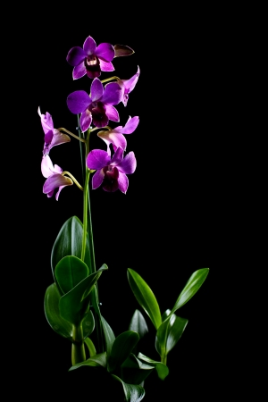 Blooming purple orchid dendrobium phalaenopsis  on a black background