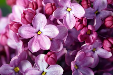 five petals: Pink lilac flower with five petals close-up. Stock Photo