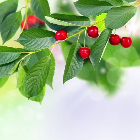 Juicy red cherries on a green branch