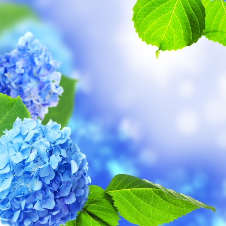 Beautiful hydrangea flowers on a blue background  photo