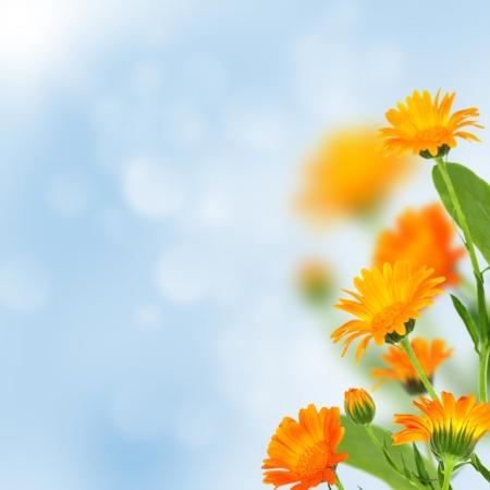 Jasne nagietka kwiaty na niebieskim tle.