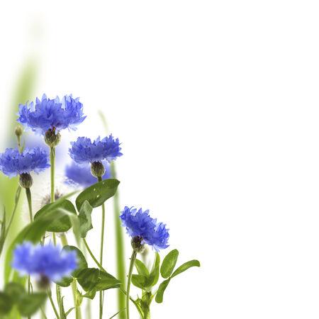 meadow  grass: Acianos azules y prado de hierba verde sobre un fondo blanco. Foto de archivo