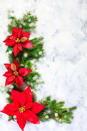 Christmas composition with fir twigs and poinsettia flowers with copy space. Flat lay, top view. Festive winter holiday concept.