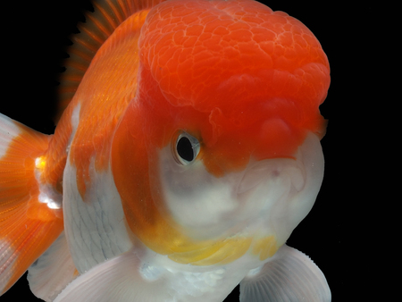 goldfish in isolated