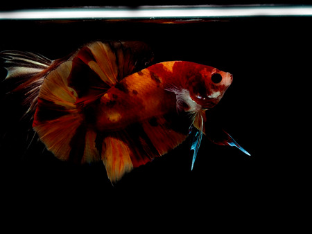 colors of siames fighting fish, betta splendensfish. Stock Photo