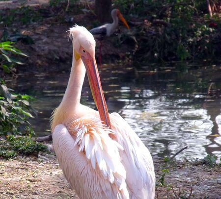 Rosy Pelican Stock Photo