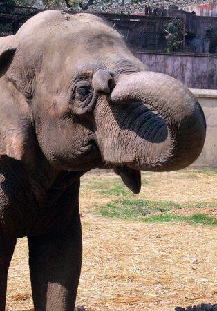 west bengal: Asian Elephant, India, Alipore zoo, zoological garden,  captive elephant Stock Photo