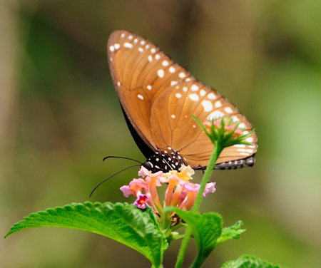 A Common-crow butterfly on flower Stock Photo