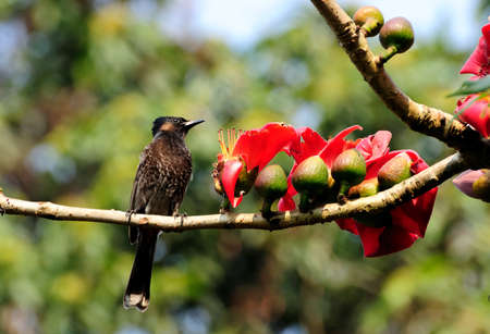 Red-vented Bulbul on a Silk-cotton Tree branch with red flowers