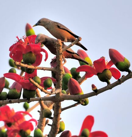 Chestnut-tailed Starling Stock Photo