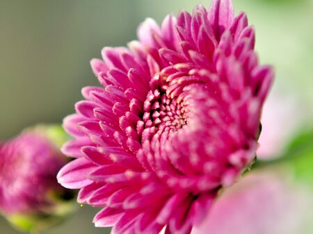 Extreme close-up of a Purple Chrysanthemum_Chrysanthemum indicum photo