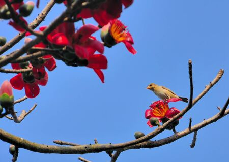 A female Baya Weaver Bird on a Silk-cotton tree branch with red flower Stock Photo - 9577599