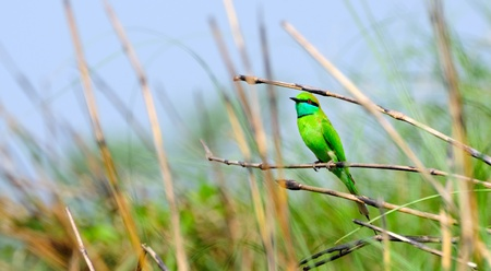 Green Bee-eater in the backdrop of blue sky sitting on a long grass Stock Photo - 9577600