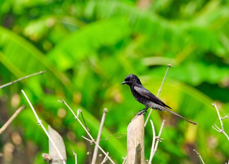 Immature Black Drongo sitting on a bamboo branch Stock Photo