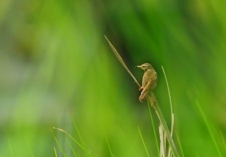 A small bird, Plain Prinia, perched on a grass blade.