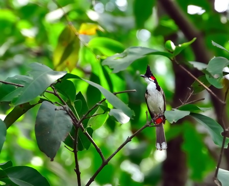 A Red-whiskered Bulbul perched on a tree branch