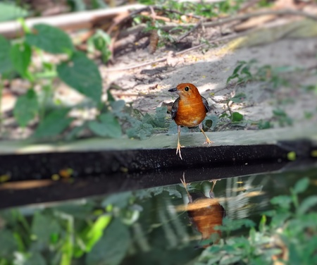 Orange-headed Thrush, watching its surrounding before a drink Stock Photo