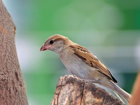 A female House Sparrow waiting on a Neem tree Stock Photo