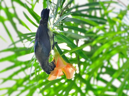 Purple Sunbird eclipse male, non-breeding plumage, drinking nectar from flower