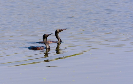 Two Indian Cormorants swimming in water Stock Photo
