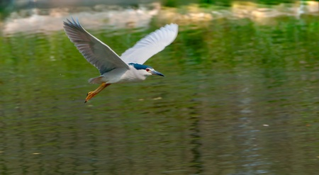 A Black-crowned Night Heron flying over water