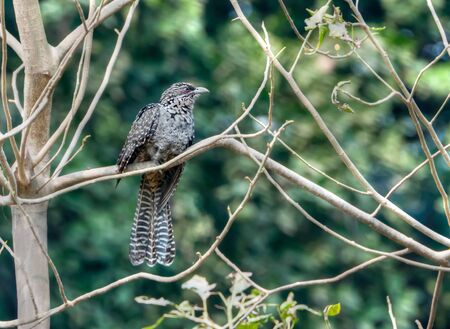 An Asian Koel  female  perched on a branch of a dead tree with green out of focus background Stock Photo