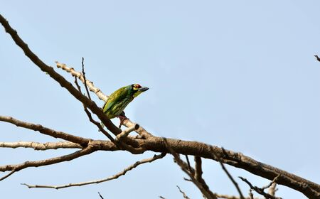 Bird, Coppersmith Barbet, perched on a dry branch with blue spring sky as background