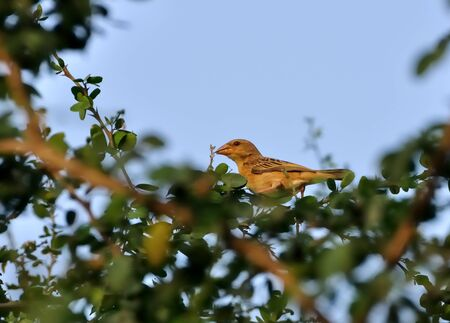 Bird, Baya Weaver Bird, Female, Perched on a tree with green leaves Stock Photo