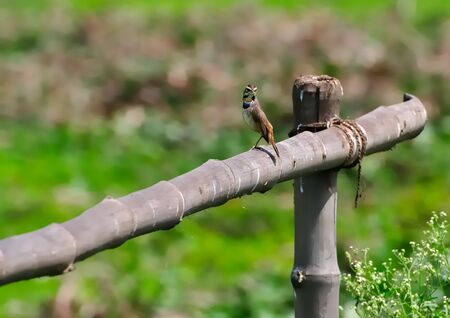 Bird, Bluethroat perched on a bamboo pole with green out of focus background