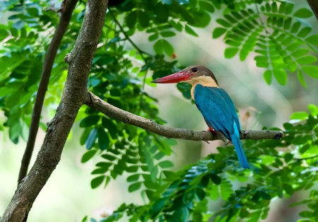 calcutta: Bird, Stork-billed Kingfisher, Perched, Tree branch, green leaves, waiting patiently