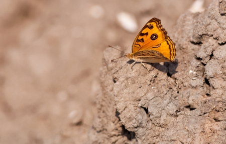 Peacock Pansy, Junonia almana, butterfly sitting on dried mud with both wings spread with out of focus background and copy space